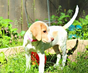 Learn the Signs of Heat Stroke in Dogs