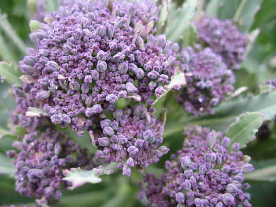 purple-sprouting