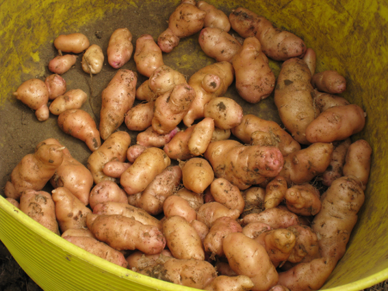 Anya potatoes
