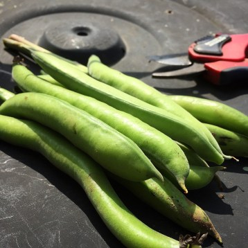 first broad beans