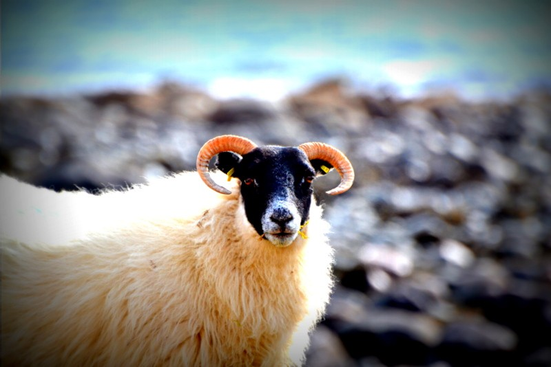 Sheep on the Isle of skye - wildlife spotting