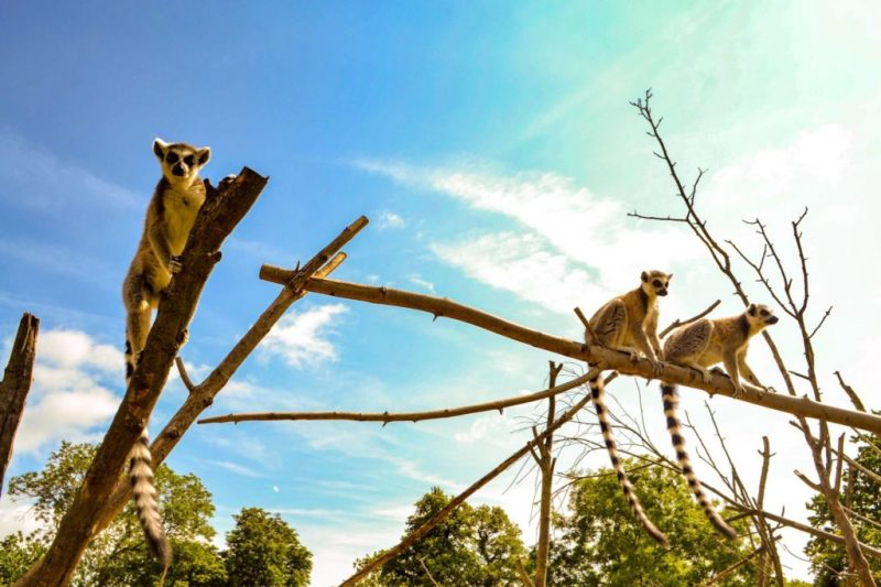 Wild Place Project lemur walk through