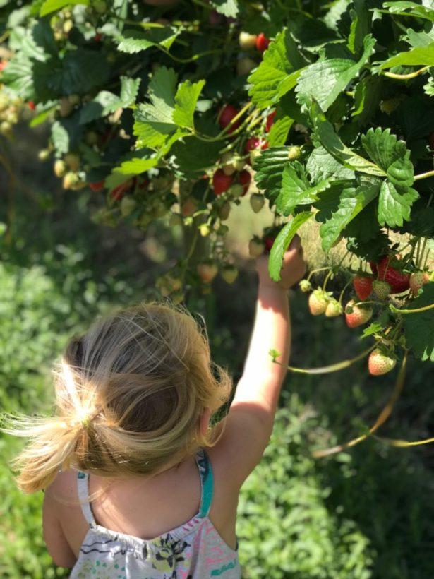 Tabletop strawberry picking near Bristol