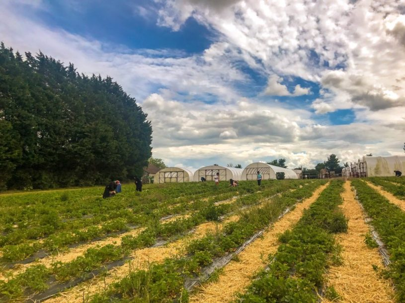 St Aldams nursery - strawberry picking - pucklechurch near Bristol