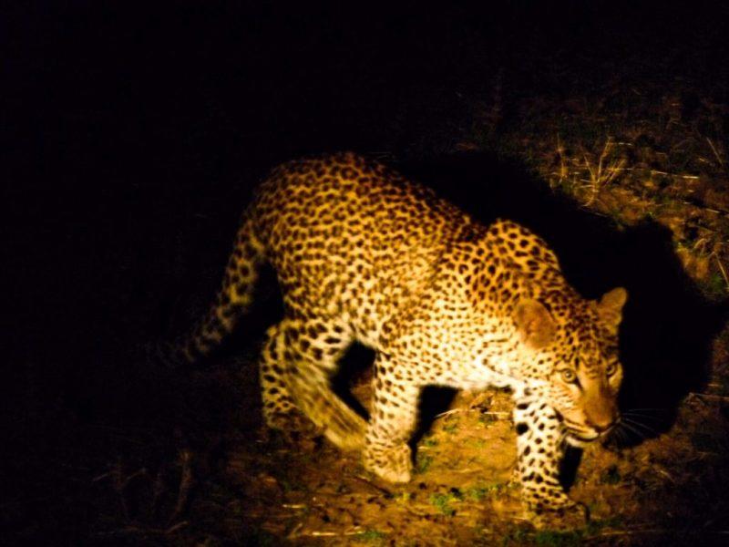 leopard big five africa nighttime