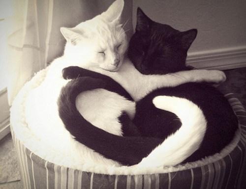 yin_yan_cats