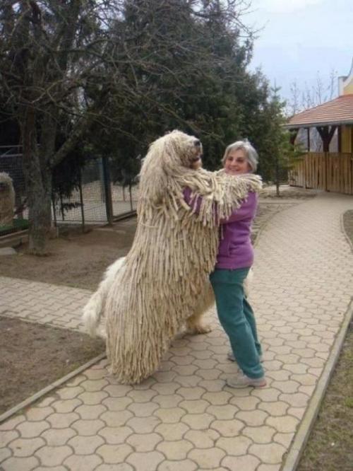 A Giant Shaggy Komondor Dog