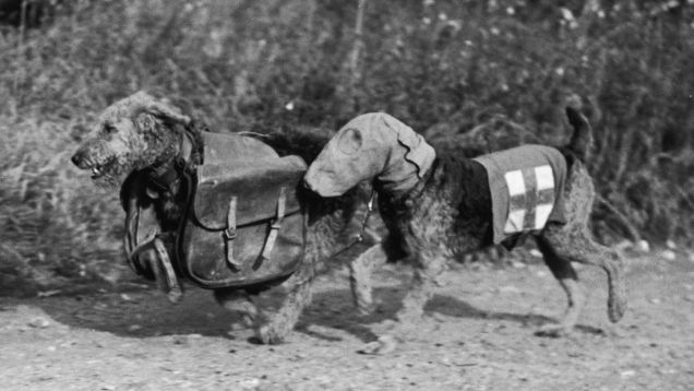 Two airedale terriers, one wearing a special gas mask and the other carrying rations for a wounded soldier in World War II