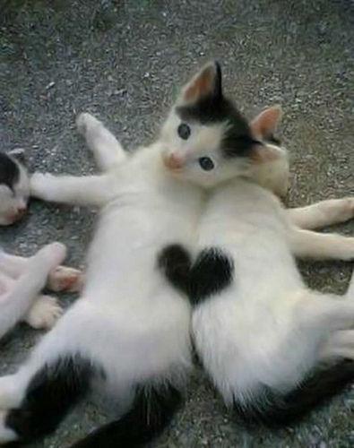 nice-cats-heart