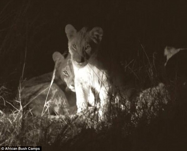 2B26989500000578-3187160-Adorable_New_images_from_African_Bush_Camps_show_the_cubs_snoozi-m-5_1438877983496