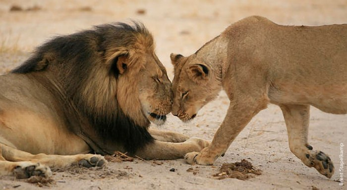 cecil-with-lioness