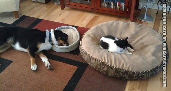 funny-cat-picture-cat-sleeping-on-dogs-bed