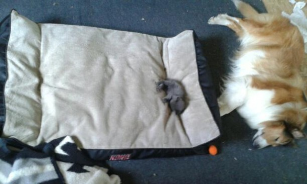 kitten-steals-bed-612x366