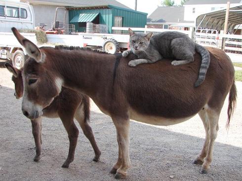 cats-on-donkey1