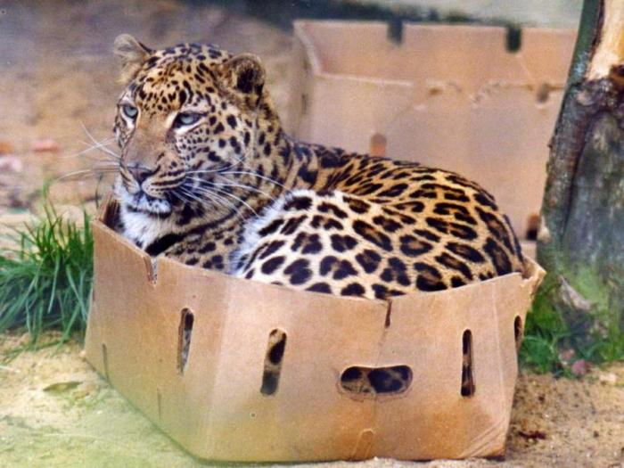 C5IxMt-big-cats-in-boxes-6GP0