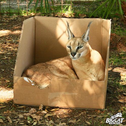 long-eared-cat-in-box