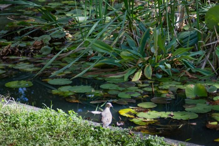 Mourning Dove at Bartram's Garden