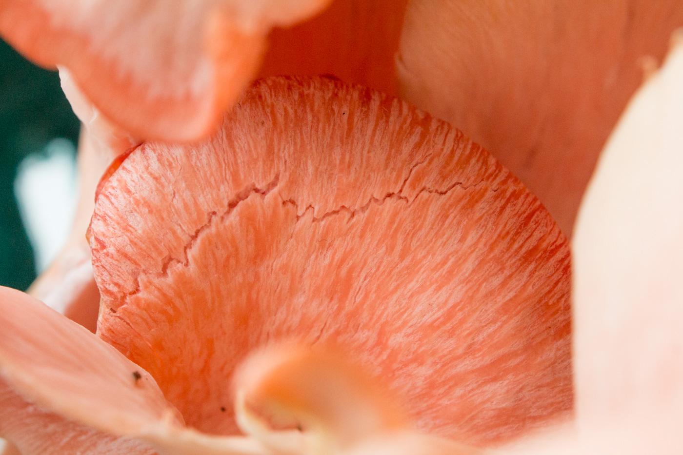 Macro Pink Oyster Mushroom