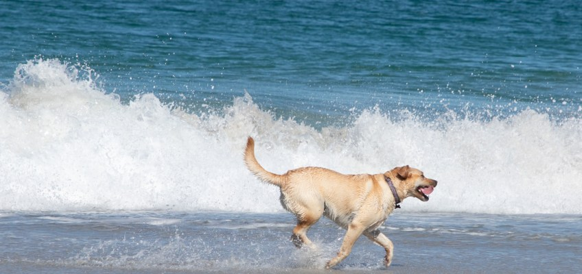 Happy Beach Dog