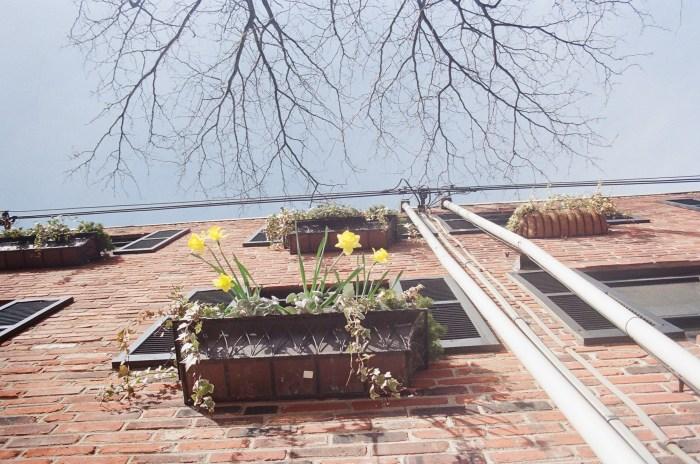 Overhead Daffodils