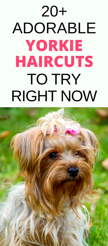 Yorkie Haircuts: MUST-see pictures of amazing yorkie hair styles and yorkie hair cuts for females and males for your pet's next grooming appointment.