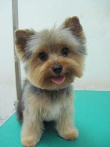 yorkie haircuts / yorkie teddy bear cut
