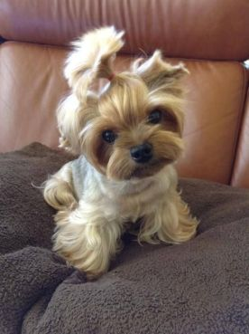 Yorkie Puppy Cut Vs Teddy Bear Cut : yorkie, puppy, teddy, Pictures, Yorkie, Haircuts, Styles, Right