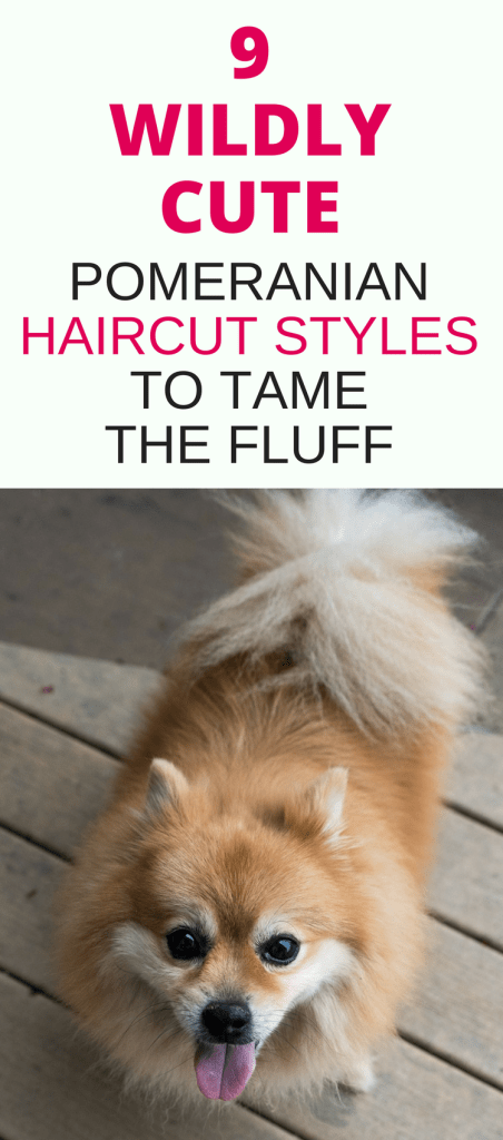 Check out these 9 wildly cute Pomeranian haircut styles for your pet's next grooming appointment including the Pomeranian teddy bear cut, fox cut, lamb cut and more.