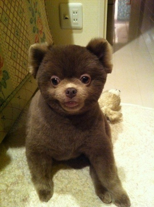 Pomeranian haircut / Pomeranian teddy bear cut