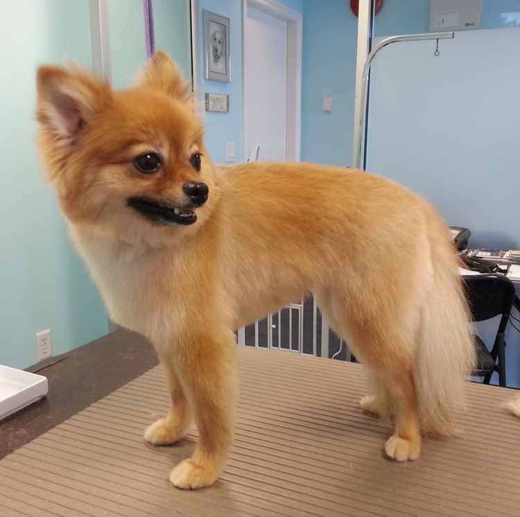how to trim a pomeranian 9 wildly cute pomeranian haircut styles to tame the fluff 8458