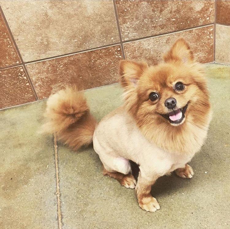 Pomeranian haircut / Pomeranian lion cut