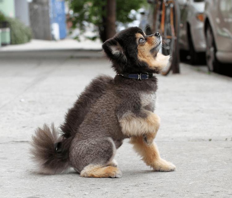 Pomeranian haircuts / Pomeranian mohawk