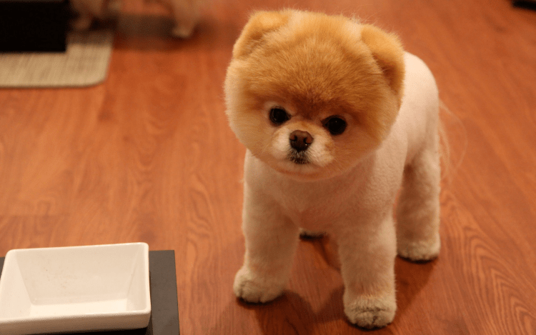 Prächtig 9 Wildly Cute Pomeranian Haircut Styles To Tame The Fluff @JZ_07