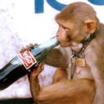 Monkeys drinking beer