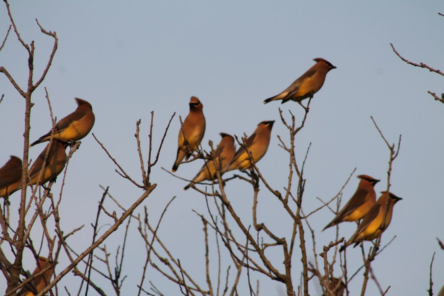 Cedar Waxwings, lots of them!