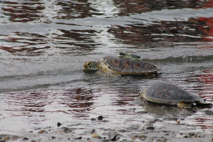 2 of 10 cold stun sea turtles released back into the wild after being rehabbed by the Riverhead Foundation