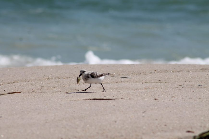 Cute little Sandpiper getting lunch at the beach