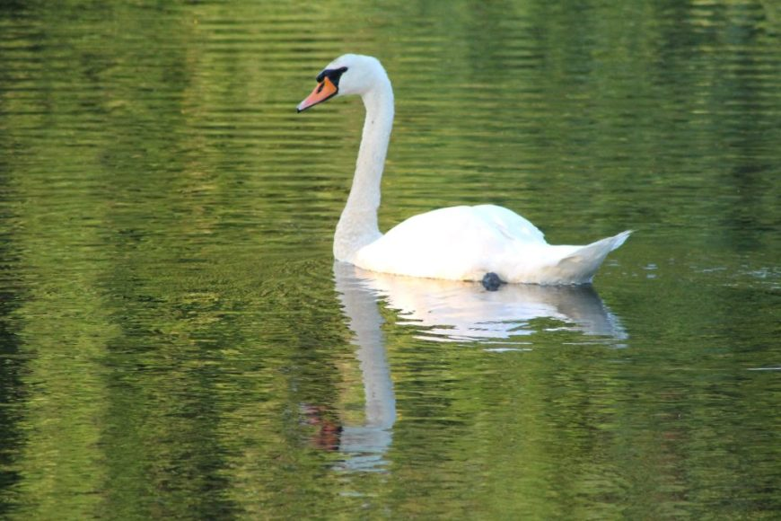 Swan in the springtime, Nancy Hassel Photography, Canon Rebel