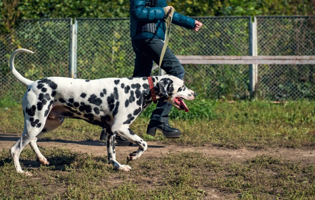 Dalmatian Dog and the girl in a jacket goes on the training ground training on prerode photo