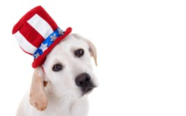 Patriotic Labrador retriever puppy isolated on white with copy space for your text
