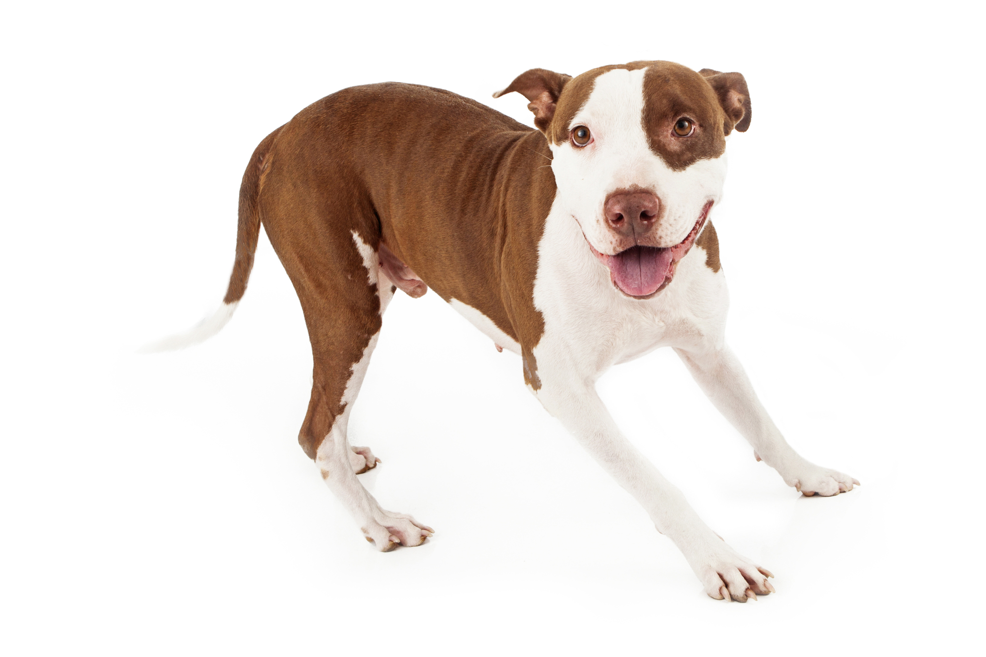 A happy and playful Pit Bull dog looking at the camera with a smile