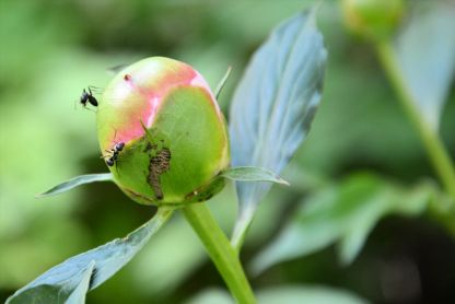 Peony bud with ants. We all have our role to play in this world.