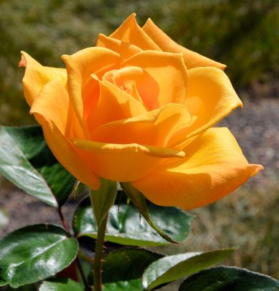 Yellow Rose of Sconnieland 1