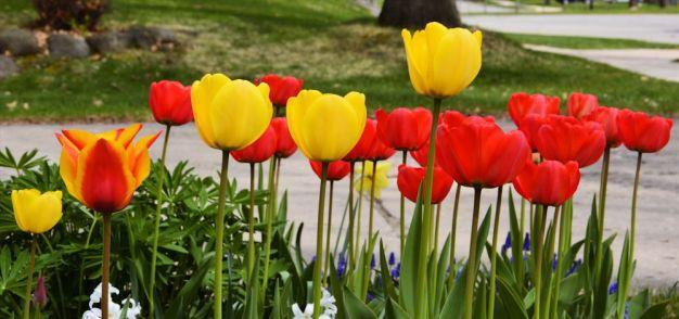 20150501_DSC_0207_tulips