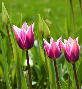 20150501_DSC_0211_tulips
