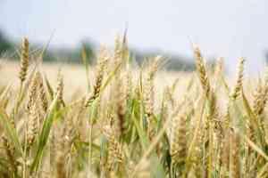wheat in farm - gluten free