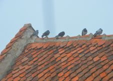 Four shivering mockingbirds on the roofs of one of the ruins in Rasnov Fortress, Brasov Romania.