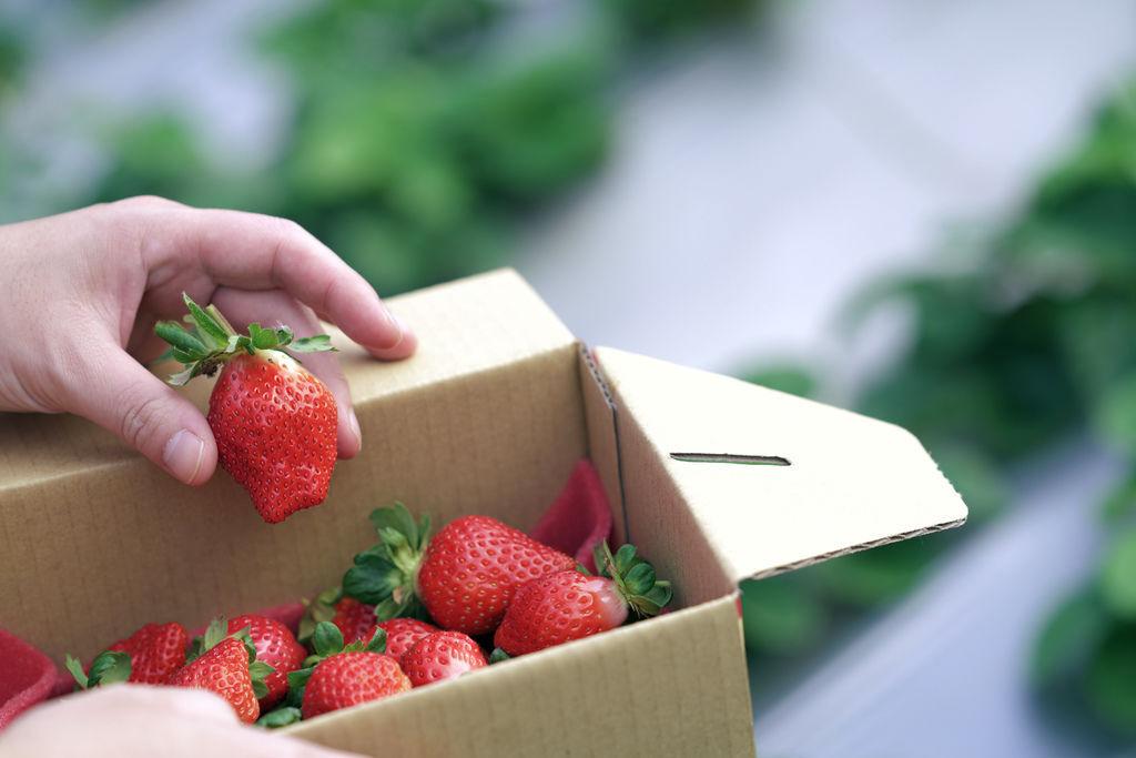 苗栗景點。草莓小農場|大湖草莓,只種豐香草莓的草莓小農場,採草莓前先吃草莓。(2020年大湖草莓季)