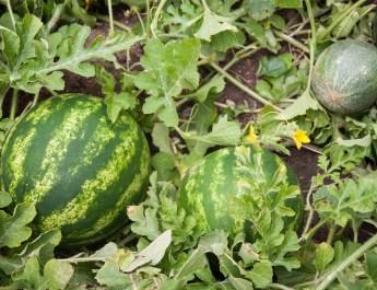 grow watermelons