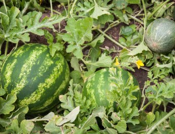grow watermelons